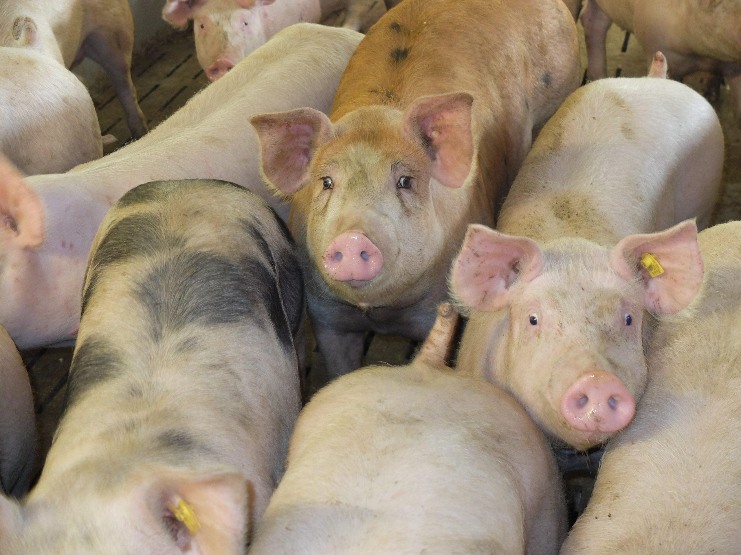 Deutschlands Schweinehalter in Not