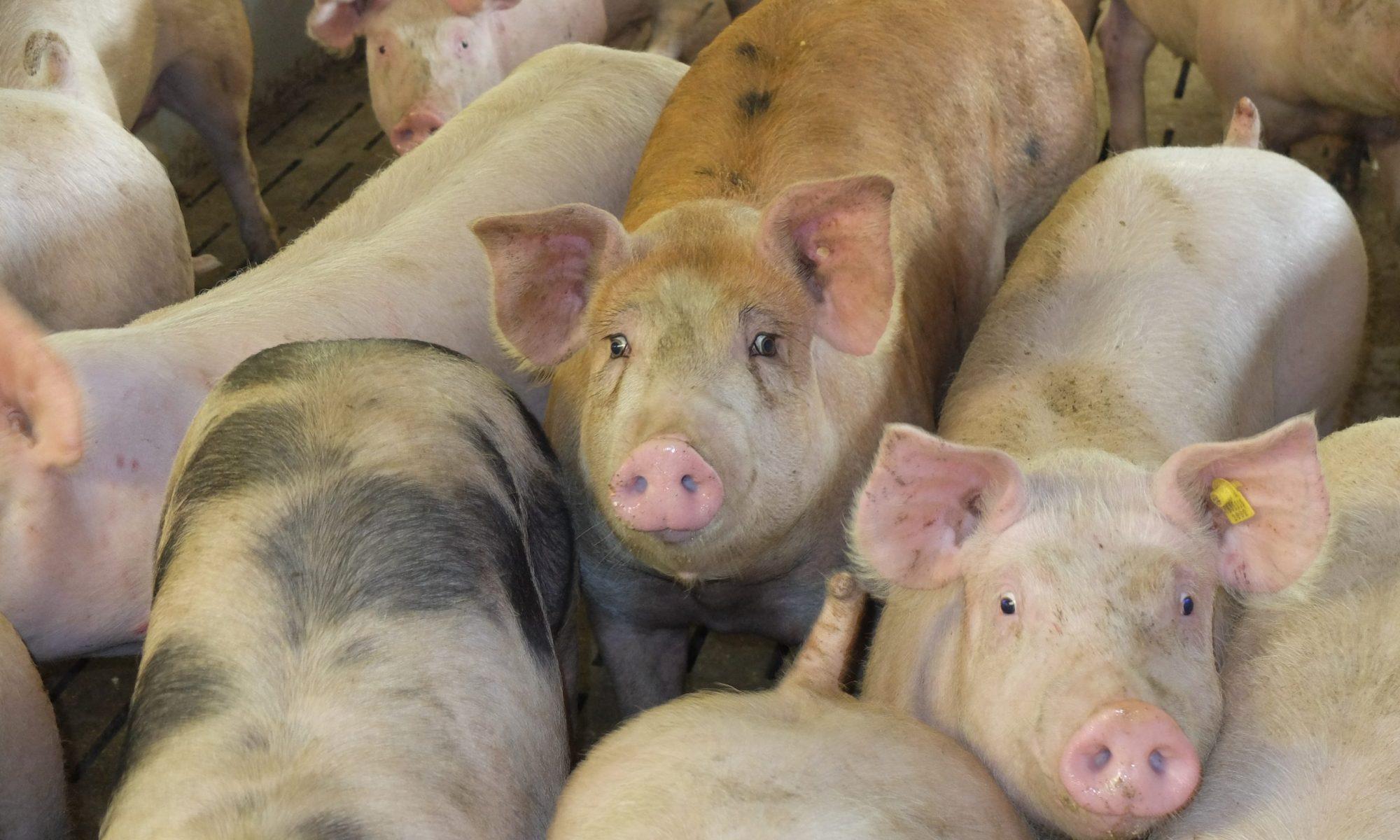 Es geht wieder bergab mit dem Schweinepreis