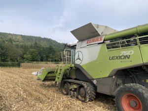 Maisernte beginnt und Preise stabilisieren sich