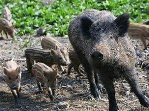 ASP bei Wildschweinen so hoch wie nie