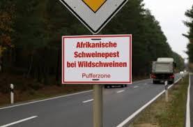 42 neue ASP-Fälle in Brandenburg