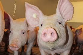 Das Schweineangebot schrumpft deutlich