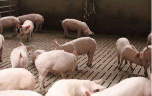 Neues Jahr beginnt mit stabilen Schlachtschweinenotierungen