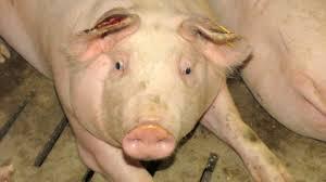 Die Preise der Mastschweine verharren auf tiefem Niveau
