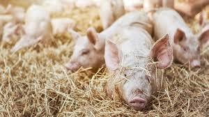Globale Schweinefleisch-Trends