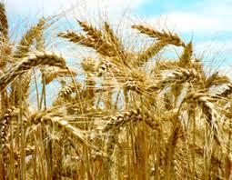 Weizenstroh macht sich nützlich