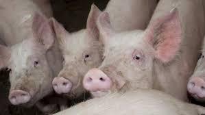 Italien: Schweinehalter stocken Sauenbestand auf
