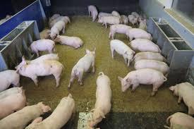 """Projekt """"Vision Pig"""": Schweinetoilette reduziert Ammoniakemissionen"""