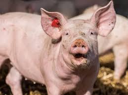 Schweinemarkt:Plötzlich flott – VEZG-Preis steigt deutlich