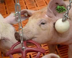 Niedersachsen drängt auf Einführung einer Tierwohl-Abgabe