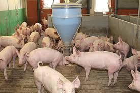 Starke Nachfrage befeuert Preisdynamik bei Schweinen