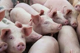 USA: Schweinepreise explodieren-auf 7-Jahreshoch!
