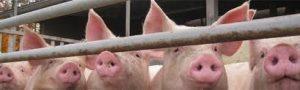 Schweinepreise: Der Lauf ist vorbei