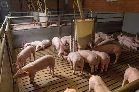 Schweinefütterung: Hohe Leistungen trotz stark N-/ P-reduzierter Fütterung