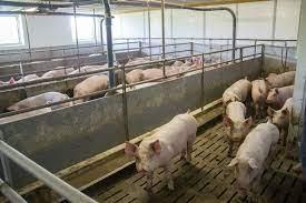 Von Jänner bis April Schweinemast nicht rentabel