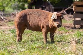 Read more about the article Schweinefleisch im Test: Schmeckt Fleisch vom Duroc anders ?