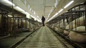 China: Neue ASP-Welle bringt Schweine- Hochhäuser zum Einsturz