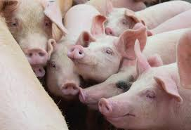 Read more about the article Chinas Schweinepreise fallen ins Bodenlose