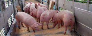 Read more about the article Flaute am Fleischmarkt und knappes Schweineangebot