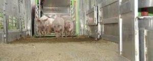 Mastschweinepreise stehen unter Druck