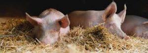 Schweinepest: Erstmals an Hausschweinen in Brandenburg nachgewiesen