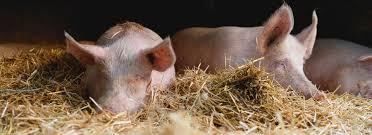 You are currently viewing Schweinepest: Erstmals an Hausschweinen in Brandenburg nachgewiesen