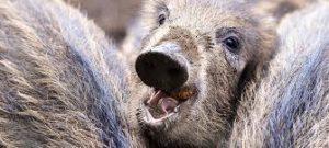 Read more about the article In der Uckermark gibt es nun einen positiven Nachweis der ASP. Ein Frischling wurde positiv auf die Tierseuche getestet.