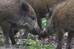 Read more about the article Zweiter ASP-Fall bei Wildschwein in der Uckermark – Brandenburg weitet Sperrzone I aus
