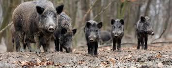 Read more about the article Polen: So viele ASP-Ausbrüche in Hausschweinebeständen wie noch nie